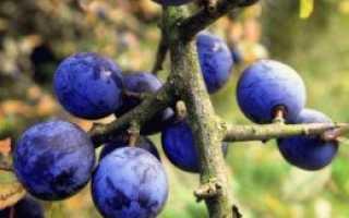 Тернослива билясувар описание. Терн (тернослива) – сорта, выращивание, особенности