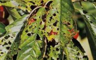 Обработка черешни осенью от вредителей и болезней. Обработка черешни весной от болезней и вредителей