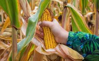 Кукуруза сушка хранение. Технология сушки кукурузы