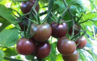 Томат черный шоколад характеристика и описание сорта. Томат Чёрный шоколад: описание с фото, особенности выращивания и ухода