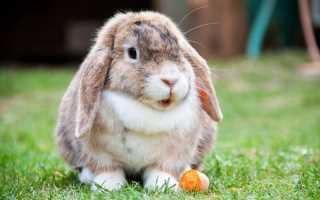 Кролики английский баран. Кролик баран и его подвиды