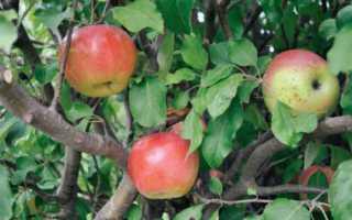 Обрезка яблони брат чудного видео. Сорт яблони Чудное — чудо чудное, диво дивное!