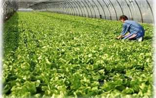 Салат айсберг выращивание в теплице. Выращивание салата Айсберг в теплице: 3 особенности