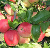 Сорт яблок кандиль орловский фото. Яблоня Кандиль орловский