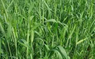 Посев овса для улучшения почвы. Овес как сидерат: преимущества и недостатки использования