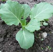 Окучивание капусты. Как и когда правильно окучивать капусту после высадки в грунт
