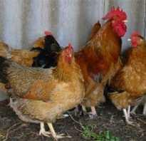 Пастереллез у кур симптомы. Описание пастереллеза у кур и его симптомы, лечение болезни и профилактика