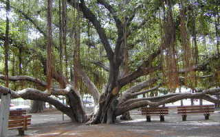 Фикус бенгальский андрей. Фикус бенгальский Одри ( Ficus benghalensis Audrey )