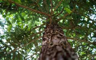 Среда обитания сосны обыкновенной. Хвойное дерево сосна обыкновенная