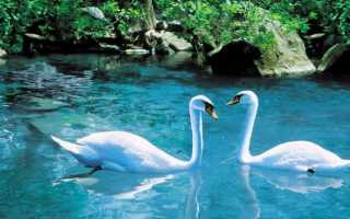 Лебедь самец как называется. Знакомимся с прекрасной птицей — лебедем