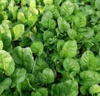 Разновидности шпината фото. Описание и фото лучших сортов шпината. Практические рекомендации по выращиванию и уходу