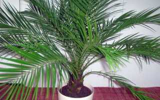 Можно ли дома держать цветок пальма. Можно ли дома выращивать финиковую пальму и приметы?