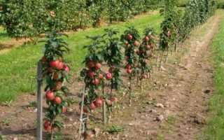 Колоновидные яблони уход и обрезка видео. Как обрезать колоновидную яблоню, схема, сроки в 2019 году