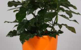 Кроссандра выращивание из семян. Выращивание кроссандры из семян