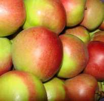 Лигол яблоки. Яблоня Лигол