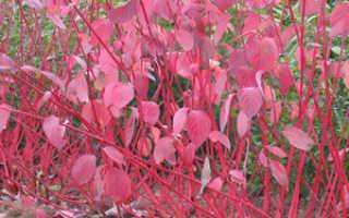 Свидина кроваво красная фото. Посадочный материал. Лиственные деревья и кустарники. Дерен