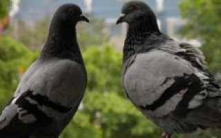 Средняя продолжительность жизни голубей. Сколько лет живут голуби в городе или других условиях