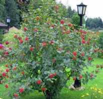 Кусты ягодные названия. Список ягодных кустарников для дачи с описанием (фото и названия)
