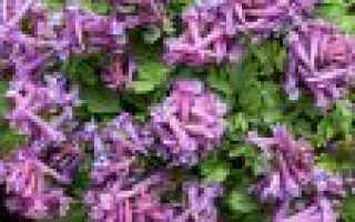 Фото хохлатка. Хохлатка (Corydalis): цветок в саду