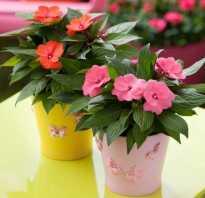 Огонек цветок комнатный фото. 10 шагов выращивания бальзамина комнатного. Фото с описаниями