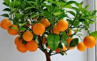 Чем подкормить мандарин в домашних условиях. Комнатный мандарин. Мандарин в домашних условиях: уход, размножение, сорта