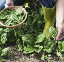 Шпинат когда собирать урожай. Любому шпинату нужен правильный сбор! Инструкции и подсказки по сохранению урожая
