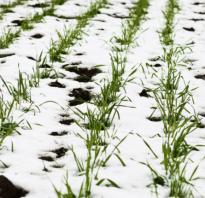 Когда сеять рожь осенью. Рожь под зиму: преимущества и правила проведения посевных работ