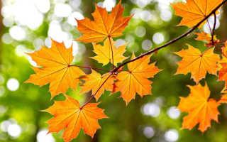 Можно ли сажать клен осенью. Клен: посадка и уход