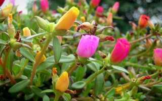 Портулак посев в открытый грунт. Портулак: посадка и уход, выращивание из семян