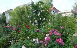 Когда сажают розы весной в подмосковье. Как вырастить розу в дачном саду