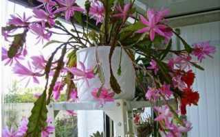 Эпифиллум аккермана фото. Необычный кактус эпифиллум. Описание его видов и сортов — Аккермана, Оксипеталума и других
