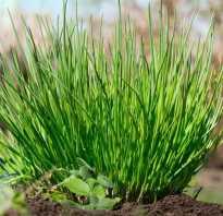 Многолетние сорта лука на зелень. Многолетний лук: виды и сорта, выращивание, размножение