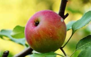 Сорт яблони мечта фото и описание сорта. Сорт яблони Мечта: основные характеристики и советы по выращиванию