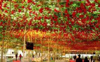 Семена дерево помидор. Томатное дерево в открытом грунте