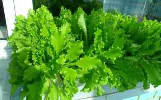 Руккола в горшке на подоконнике. Как выращивать руккола в домашних условиях?