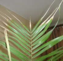 Почему желтеет финиковая пальма в домашних условиях. Почему сохнет финиковая пальма: способы решения проблемы