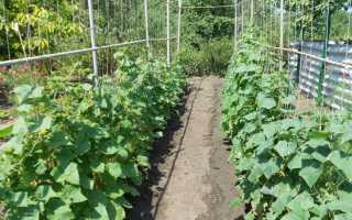 После каких культур можно сажать томаты. После каких растений можно высадить на грядке огурцы?