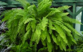 Почему сохнут листья у папоротника домашнего. Комнатный папоротник – сохнут листья