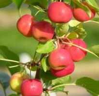 Красные ранетки сорта. Яблоки ранетки: почему их любят сажать в России