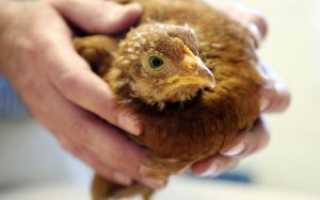 Туберкулез у кур. Что делать, если диагностировали туберкулез у домашней птицы: лечить или убивать?