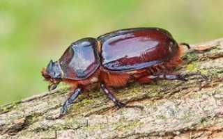 Что едят жуки. Чем питается жук-носорог?