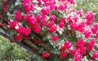 Цветы в сибири посадка и уход. Розы посадка и уход в открытом грунте в сибири