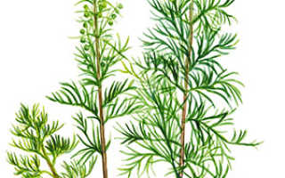 Укропное дерево фото и описание. Укропное дерево — выращивание и фото растения