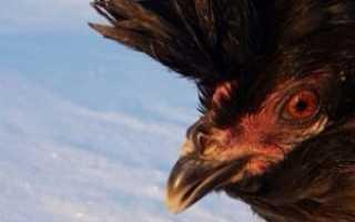Сибирская мохноножка порода кур. Сибирская порода кур Мохноножка