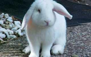 Кролик часто дышит и трясется. Заболевания кроликов. То, что важно знать