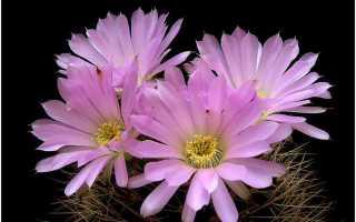 Самые красивые кактусы мира фото. Самые красивые кактусы в мире