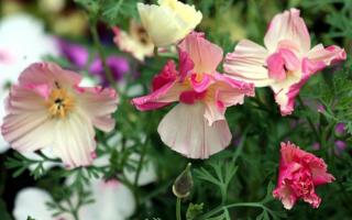 Эшшольция фото цветов на клумбе. Эшшольция: разновидности и советы опытных садоводов по уходу