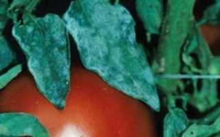 Мучнистая роса на помидорах в теплице. Избавляемся от мучнистой росы на помидорах – боремся народными средствами!