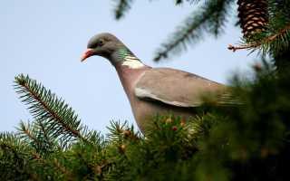 Лесной голубь фото птицы. Лесной голубь вяхирь и особенности его жизни