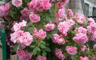 Чем опрыснуть розы весной. Особенности ухода за розами весной